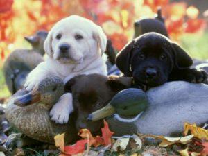 Lab Pups - Alan and Sandy Carey